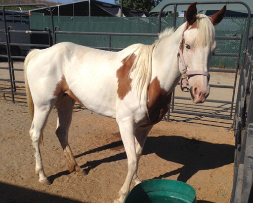 County Animal Sevices officers seize a neglected horse. Courtesy photo: